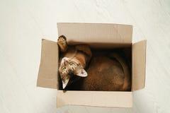 Junge abyssinische Katze, die in der Pappschachtel auf dem Boden sitzt Stockbild