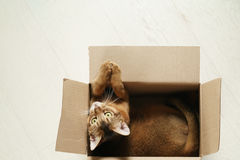Junge abyssinische Katze, die in der Pappschachtel auf dem Boden sitzt Lizenzfreie Stockbilder