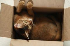 Junge abyssinische Katze, die in der Pappschachtel auf dem Boden sitzt Lizenzfreie Stockfotos