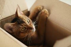 Junge abyssinische Katze, die in der Pappschachtel liegt Lizenzfreie Stockbilder