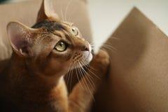 Junge abyssinische Katze, die in der Pappschachtel liegt Stockbilder