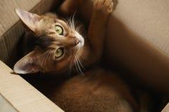 Junge abyssinische Katze, die in der Pappschachtel liegt Lizenzfreie Stockfotos