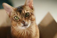 Junge abyssinische Katze, die in der Pappschachtel liegt Lizenzfreies Stockbild