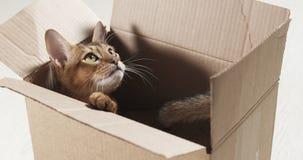 Junge abyssinische Katze, die in der Pappschachtel sitzt Lizenzfreie Stockbilder