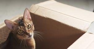 Junge abyssinische Katze, die in der Pappschachtel sitzt Lizenzfreies Stockbild