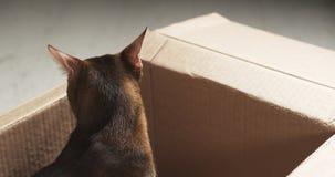 Junge abyssinische Katze, die in der Pappschachtel sitzt Stockbild