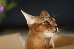 Junge abyssinische Katze, die in der Pappschachtel sitzt Stockfotos