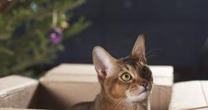 Junge abyssinische Katze, die in der Pappschachtel sitzt Lizenzfreie Stockfotos