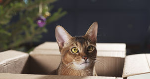 Junge abyssinische Katze, die in der Pappschachtel sitzt Stockfoto