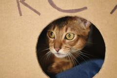Junge abyssinische Katze, die im selbst gemachten Katzenhaus sitzt Stockfotos