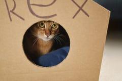 Junge abyssinische Katze, die im selbst gemachten Katzenhaus sitzt Lizenzfreies Stockbild