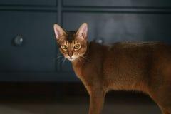 Junge abyssinische Katze, die im Wohnzimmer steht Stockfotos