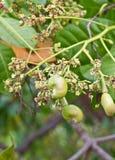 Junge Acajounuss auf Baum Stockfotos