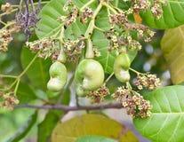 Junge Acajounuss auf Baum Lizenzfreie Stockfotos