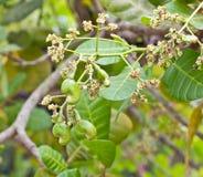 Junge Acajounuss auf Baum Stockfotografie