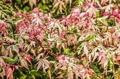 Junge Acerblätter nach dem Regen Lizenzfreies Stockbild