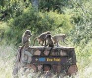 Junge Affen der Gruppe, die auf den Standpunkt legen Stockbild
