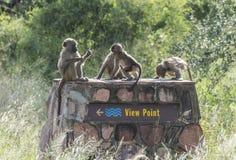 Junge Affen der Gruppe, die auf den Standpunkt legen Lizenzfreie Stockfotos