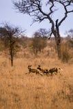 Junge afrikanische wilde Hunde, die in der Savanne, Kruger, Südafrika spielen Lizenzfreie Stockfotos