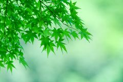 Junge Ahornholzbaumblätter im Frühjahr Lizenzfreies Stockbild
