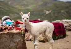 Junge Alpakastellung des zweimonatigen Babys nahe peruanischem Gewebemarkt für Touristen lizenzfreies stockfoto