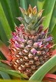 Junge Ananas Stockbild