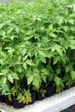 Junge Anlage der Tomate Lizenzfreies Stockbild