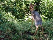 Junge Antilope, die auf dem Gras steht Stockfoto