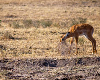 Junge Antilope, die Busch isst  Stockbilder