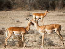 Junge Antilope zwei, die neben einander steht und ihre Köpfe vor dem hintergrund der Savanne im Massai Mara berührt lizenzfreie stockfotos