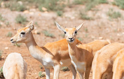 Junge Antilopes Stockfotos