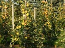 Junge Apfelbäume stockbilder