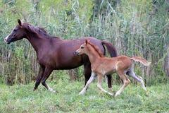 Junge arabische Pferde galoppieren auf die Wiese gegen grünes Schilf langsam Stockbilder