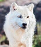 Junge arktische Wolf-Nahaufnahme Lizenzfreie Stockfotos