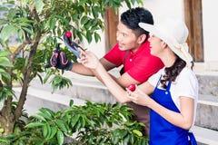Junge asiatische lächelnde Paare beim reifes Rot Franc zusammen ernten Lizenzfreie Stockfotografie
