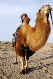 Junge auf Kamel lizenzfreie stockfotografie
