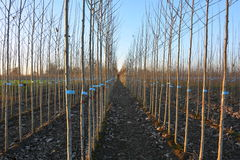 Junge Bäume in der Forstbaumschule stockbild