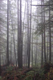 Junge Bäume in einem nebeligen Wald stockbild