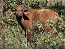 Junge Büffelnahaufnahme Lizenzfreies Stockfoto