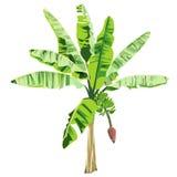 Junge Banane mit einer Blume und Früchten Stockbilder