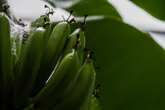 Junge Bananen Stockfotos