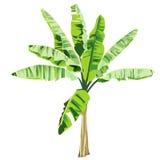 Junge Bananenstaude in der Farbe Lizenzfreie Stockfotografie