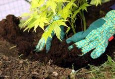 Junge Betriebspflanzen des Baums Stockbilder