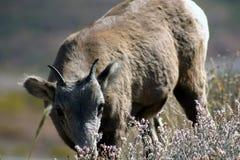 Junge Big Horn-Schafe Stockfotografie