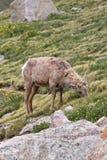 Junge Big Horn-Schafe, die auf einem Abhang weiden lassen lizenzfreies stockfoto