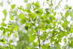 Junge Birkenblätter Stockfotos