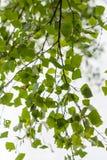 Junge Birkenblätter Stockfoto
