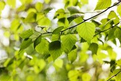 Junge Birkenblätter auf Niederlassungen Stockfoto