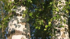 Junge Birkenblätter und weiße Stämme, beleuchtet durch die Abendsonne stock video