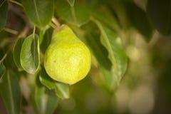 Junge Birne, die auf Baum wächst lizenzfreie stockfotografie